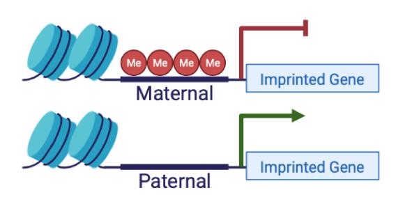 maternal and paternal imprinted genes